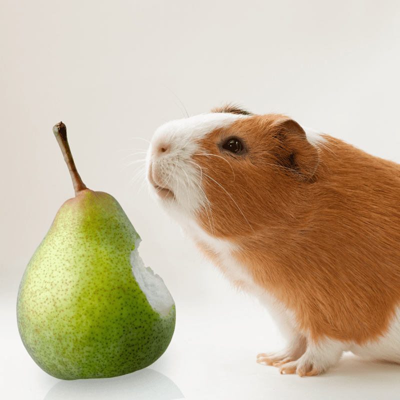 A guinea pig looking at a pear