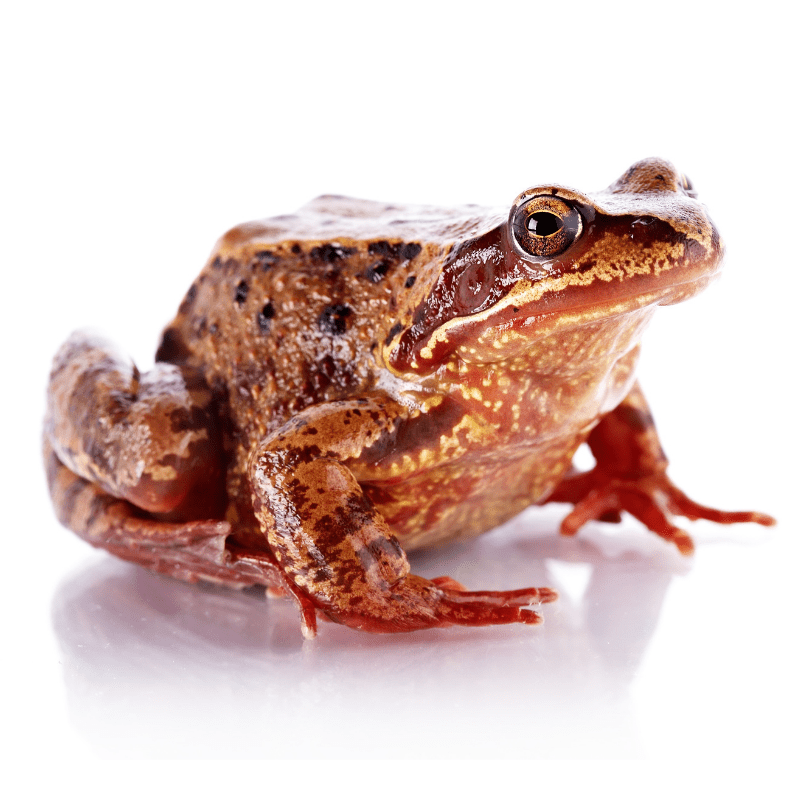 A common brown frog