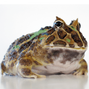 A Pacman Frog on a white background