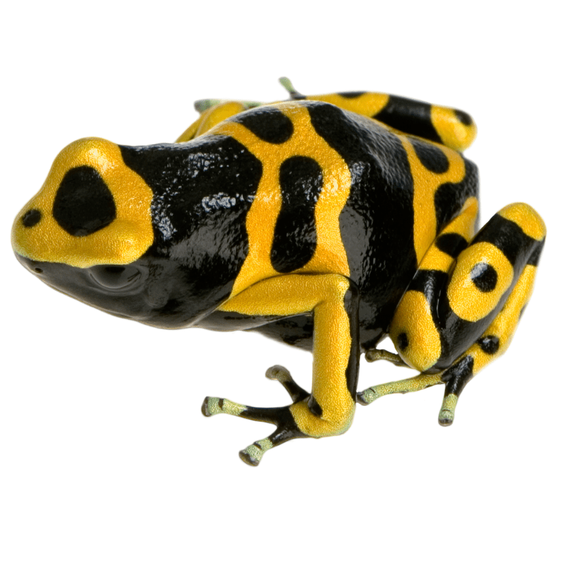 A brightly coloured frog called the yellow-branded poison dart frog against a white background.
