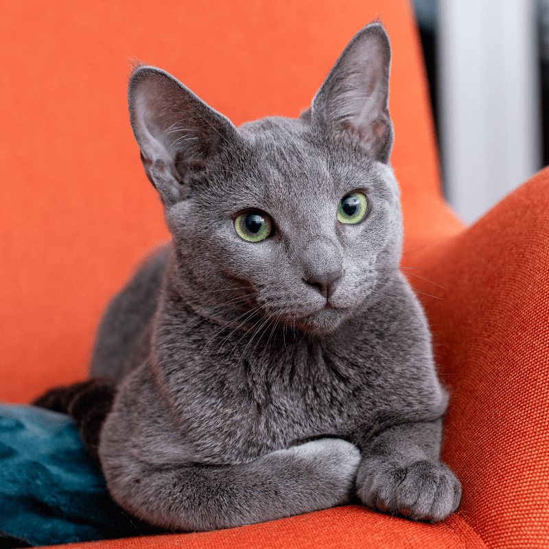 Russian Blue Cat sitting on a orange chair
