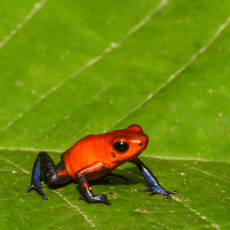 A close up of a Strawberry Poison Dart Frog in Costa Rica sitting on a leaf.