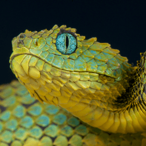 Close up of a snakes eyes