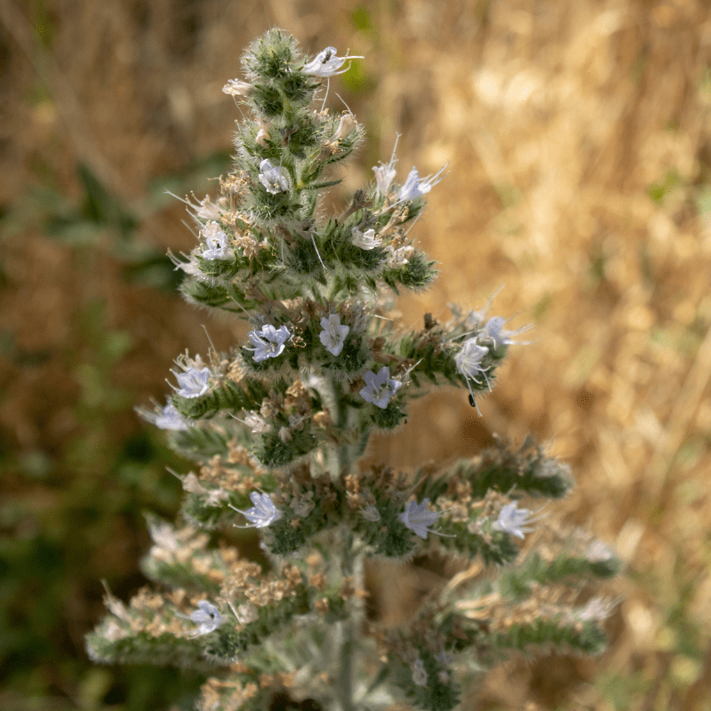 close up of the catnip plant, with buds on, blurred background.