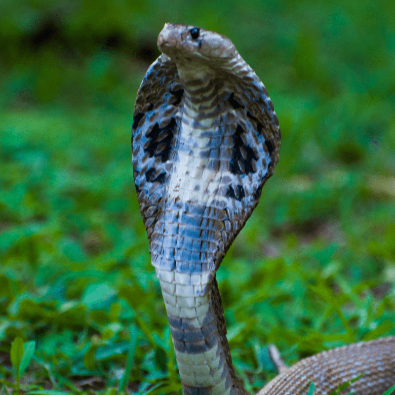 Indian Cobra Snake with hood out