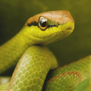 Green snake showing it face including nose