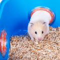 Hamster in cage, going through a tunnel onto sawdust