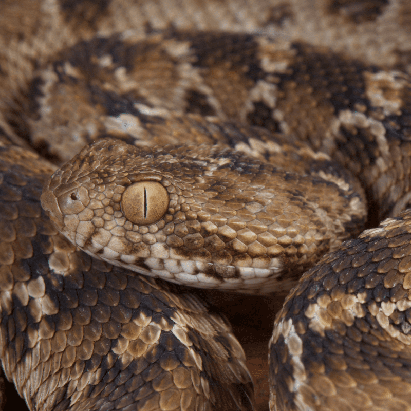 Saw scaled viper close up of eye, head and scales