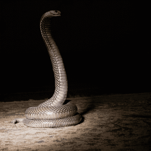 Snake sitting with head up at night