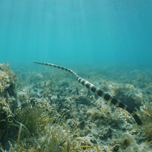 Underwater sea snake swimming over the seabed