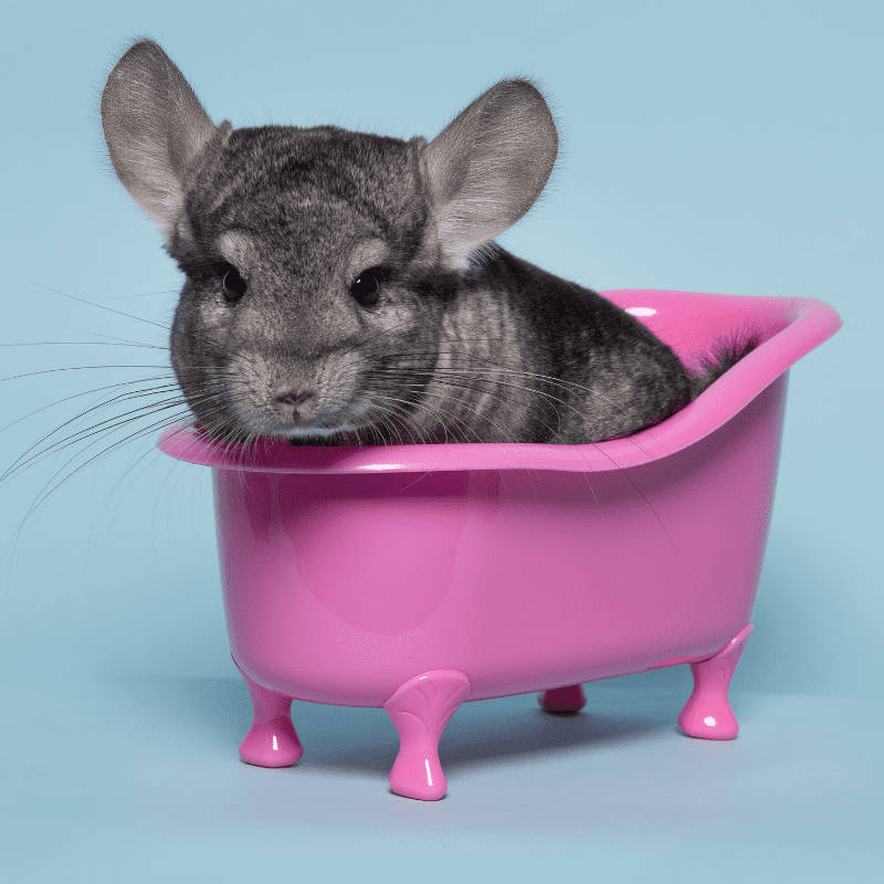 Chinchilla sand bathing in a pink bath looking at the camera