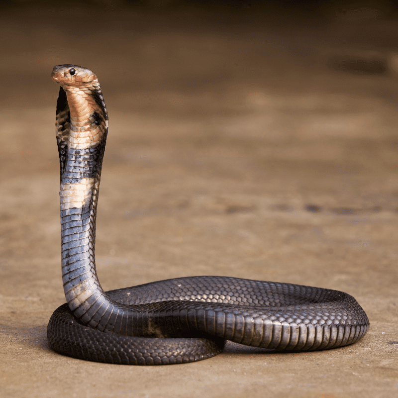 Indian King Cobra, full view with hood out