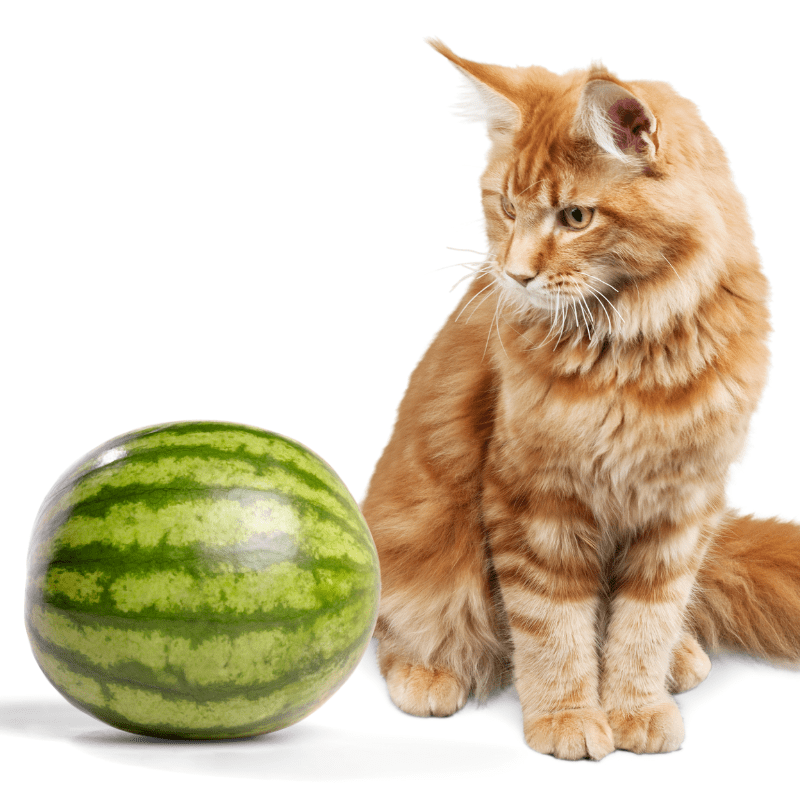 ginger cat looking at a watermelon