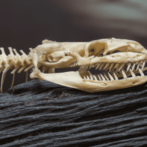 skeleton of a snake with rows of teeth