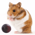 Syrian Hamster with a red grape
