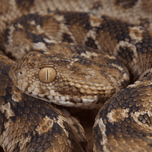 Saw Scaled Viper close up of eyes and scales