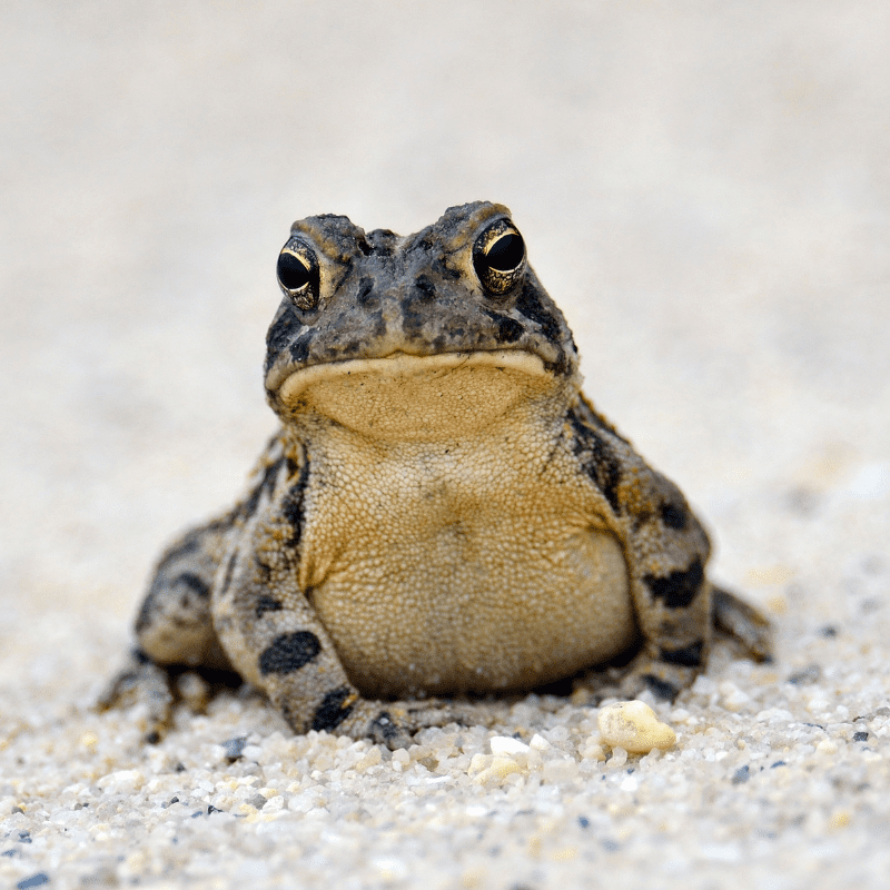Toad - close up sitting on gravel