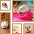 five hamster types in a collage frame