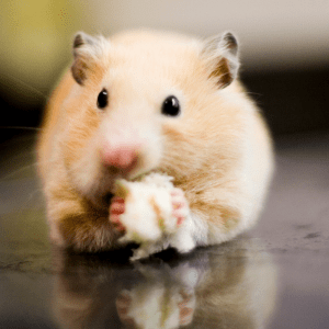 A hamster stuffing his pouches with food