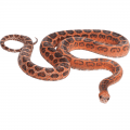 full body view of a Corn snake on a white background