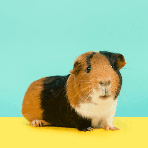 Brown and Black Guinea Pig looking at camera