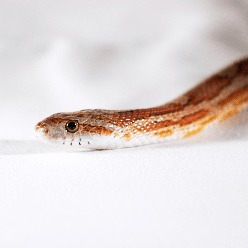 Miami Phase Corn Snake, close up of head and body on a white background