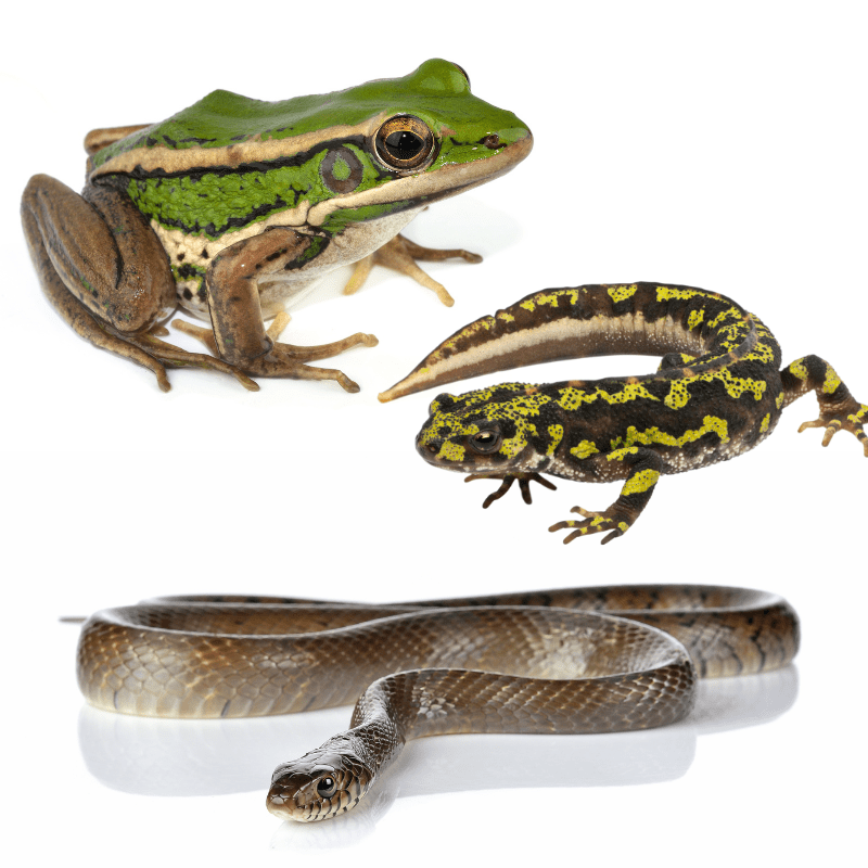 herps - frog, newt and a snake