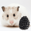Cute hamster and a blackberry fruit