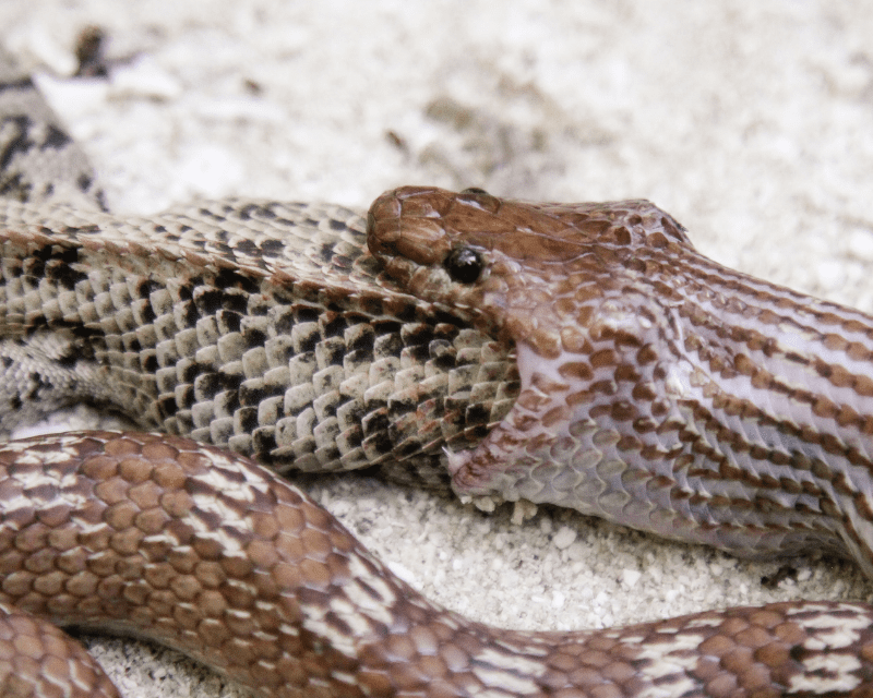 Snake eating a lizard half in and half out