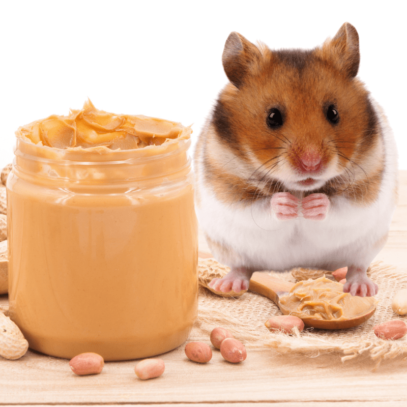 cute tan and white hamster hamster and a jar of peanut butter