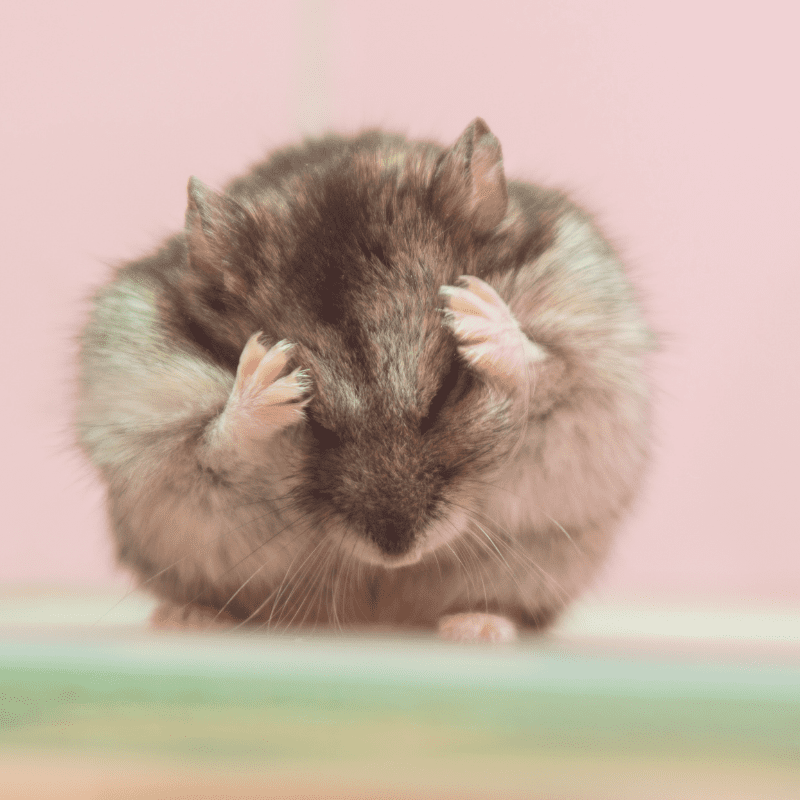 Grey and whit ehamster cleaning itself on the head