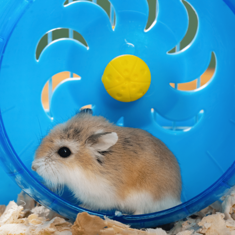 Cute hamster on a blue spinning wheel
