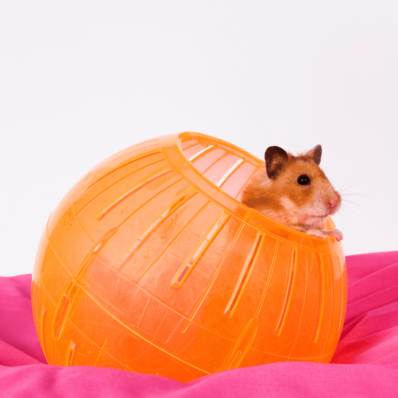 Hamster popping its head out of an orange hamster ball