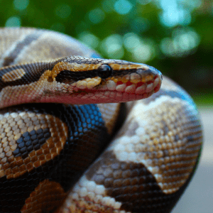 Ball Python head and part of body