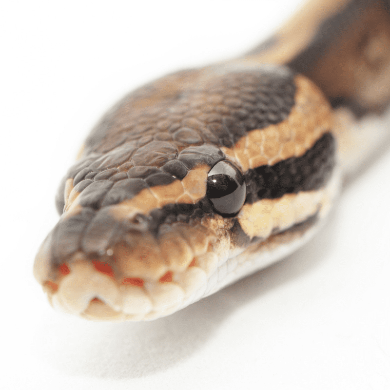 Close up of the eyes of a ball python