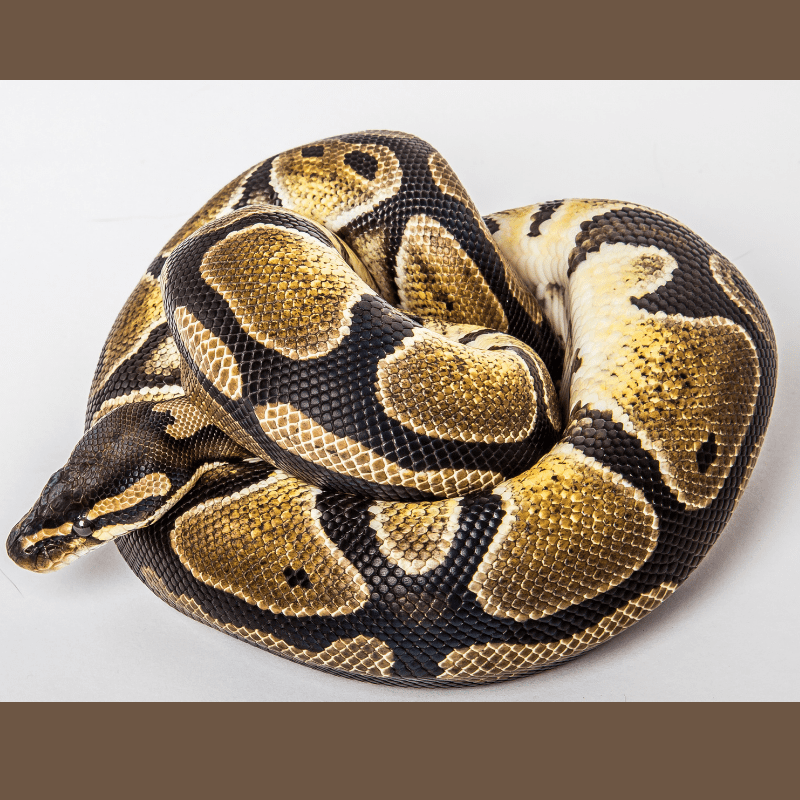 Coiled up Ball Python full body image