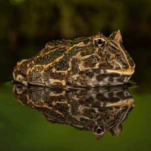 Dark green and brown frog siting in water