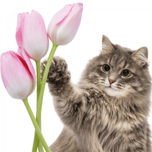 A cat reaching for some tulips
