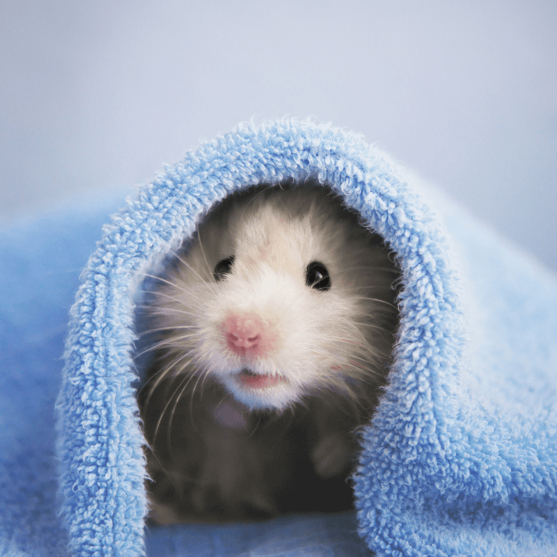 White hamster under a blue towel, poking her head out