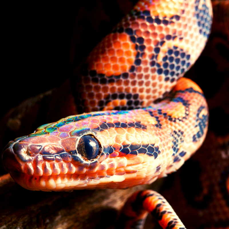 Close up of snakes head with a shimmer of green, yellow and blue