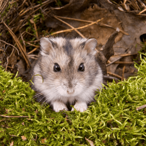 Chinese Dwarf Hamster sitting on some moss in the wild