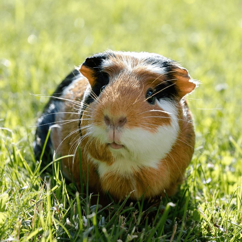 Guinea pig outside on some grass