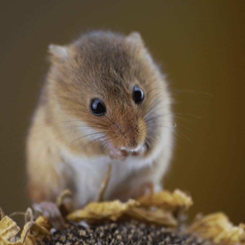 A cute brown mouse